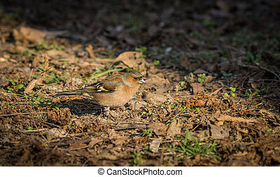 Little chaffinch sitting on the ground.
