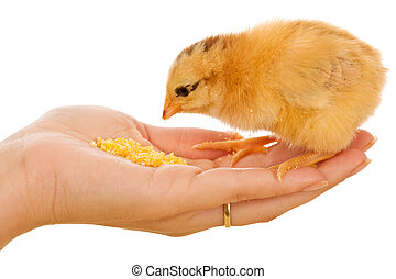 Little chicken in womans hand eating corn flour