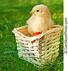 Little chicken in the basket with eggs