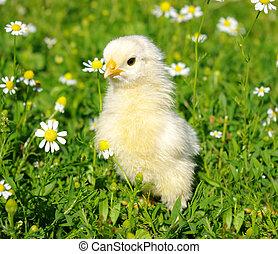 chicken on a grass - little chicken on a grass
