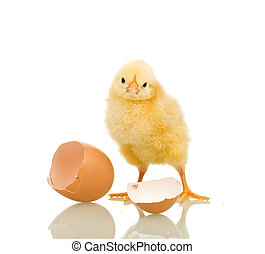 Little chicken with eggshell - isolated, reflection