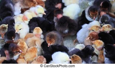 little chickens of different breeds and different colors