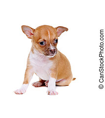 little chihuahua puppy sitting on white background