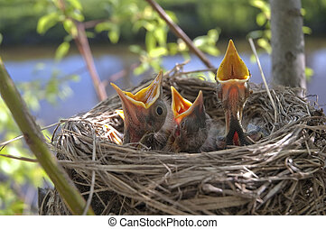 Little children Birds 3 - three heads nestling close up