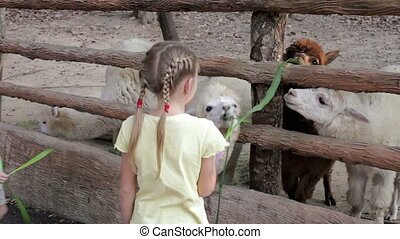 Little children feeding a lama at the zoo at the day time.