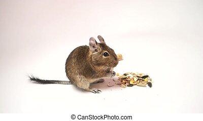 Little chilean degu squirrel eating breakfast