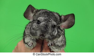 Little chinchilla hug with both hands. Green screen, slow...