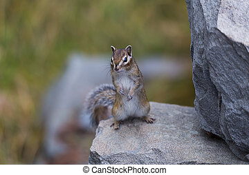 little chipmunk on the rocks