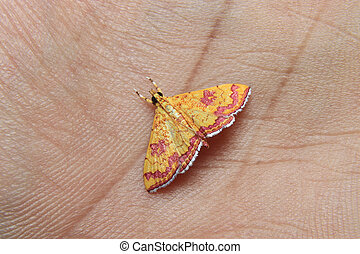 little colorfull Isocentris file is moth on finger