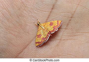 little colorfull Isocentris file is moth on finger