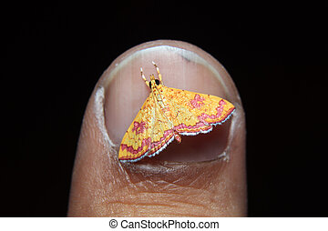 little colorfull Isocentris file is moth on finger nail