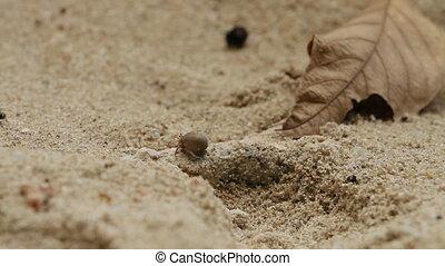 Little crab crawling on sand. Phuket, Thailand.