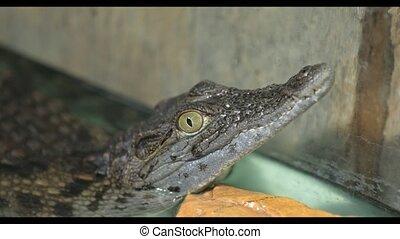 little crocodile in the aquarium