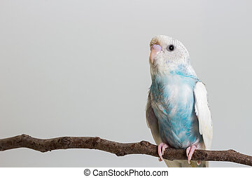 Little Cute Budgerigar