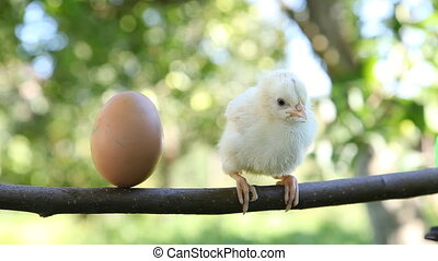 Little cute chick and egg on the perch
