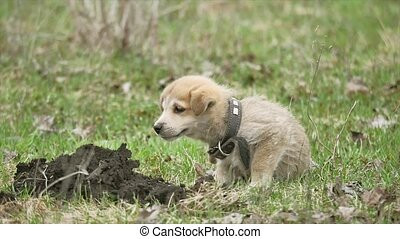 little cute dog pet puppy itches from fleas on a farm in...