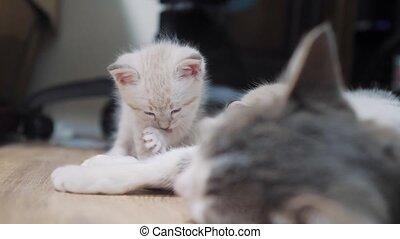 little cute kitten licks paw . little cute kitten sleeping...