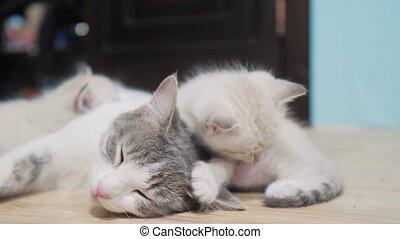 little cute kitten lifestyle sleeping next to cat mom. cat...