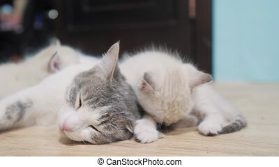 little cute kitten sleeping lifestyle next to cat mom. cat...