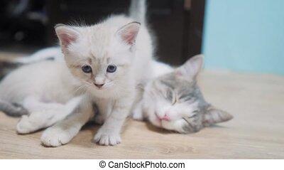 little cute kitten walks next to a sleeping cat mom . little...