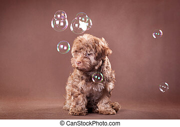Little cute puppy of the Russian colored lapdog breed on a brown background with soap bubbles