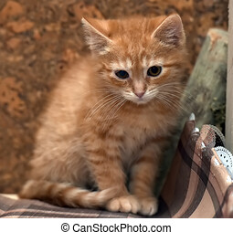 cute red fluffy sad kitten - little cute red fluffy sad ...