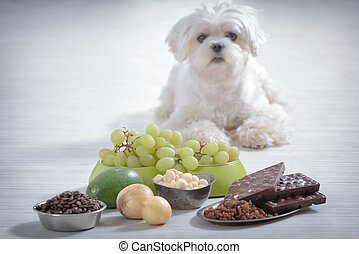 Little dog and food toxic to him - Little white maltese dog...