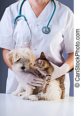 Little dog and kitten meeting at the veterinary doctor