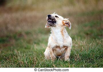 little dog barking