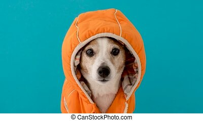 Little dog in coat with hood - Funny little dog wearing ...