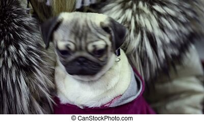 Little dog of pug breed moves its head and look around,...