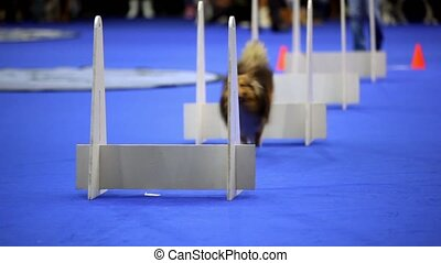 Little dog of shelti breed run and jump over barriers on...