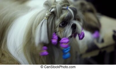 Little dog of shin tzu breed watch on comb, closeup view