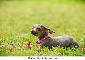 Little dog playing outside
