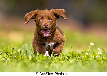 Little dog running with flapping ears - Playful brown puppy...