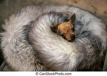 little dog with cold in winter with fox skin