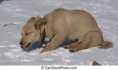 Little doggy lunching on snow