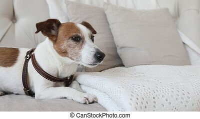 Little doggy on the couch afraid and trembling - Dog Jack...