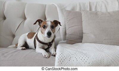 Little doggy on the couch - Dog Jack Russell Terrier sits on...