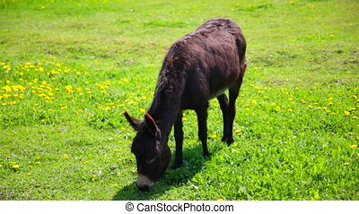 little donkey  is grazed on a glade with dandelions