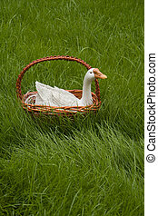 little duck in basket on the grass