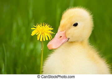 Little duckling - Little yellow duckling with dandelion on...