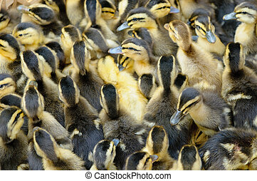 little ducklings, shallow focus