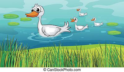 Little ducks following the mother duck