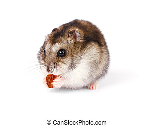 Little dwarf hamster isolated on white background