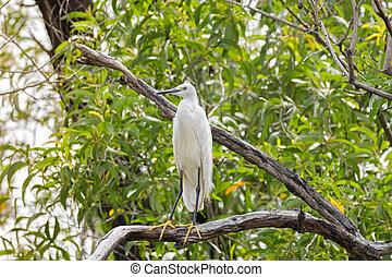 Little egret aquatic heron bird in white perching on tree...