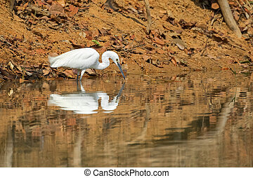 Little egret aquatic heron bird with its reflection walking...