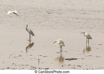 Little egret aquatic heron birds walking on tropical coastal...
