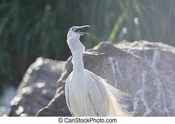 Little Egret bird