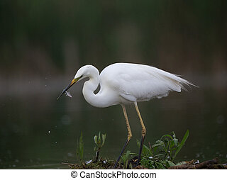 Little egret eatingh small fidh - Portrait of small white ...